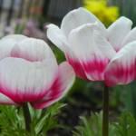 """""""Anemone"""" by vpicks"""