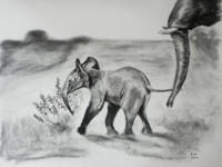 Baby Elephant. Charcoal drawing