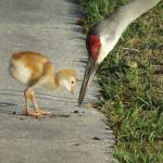 """Sandhill crane with chick"" by Zinastr"