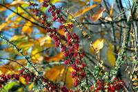 The Red Fruits of Autumn