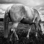 """Horse in black and white"" by Gaschwald"