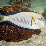 """Sohal Surgeonfish Tropical Fish"" by kphotos"
