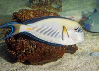Sohal Surgeonfish Tropical Fish