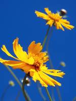 Coreopsis Against The Sky