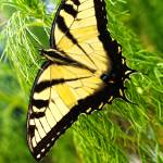 """""""The Eastern Tiger Swallowtail (Pterourus glaucus)"""" by GreyPhotography"""