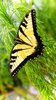 The Eastern Tiger Swallowtail (Pterourus glaucus)