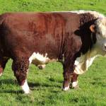 """Pedigree Hereford Bull"" by JMcCoubreyPhotography"