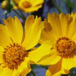 """Coreopsis"" by PjCreates"