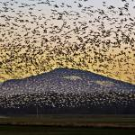 """Snow Geese over the Mountain"" by CaptureLife"