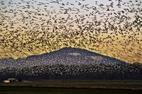 Snow Geese over the Mountain