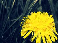 Dandilion Edit 2
