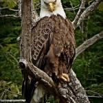 """Bald Eagle Stare Down"" by bavosiphotoart"