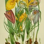 """IrisesandCrocuses"" by neilepi"