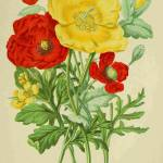 """Poppies"" by neilepi"