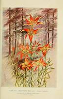 SouthernRedLilies
