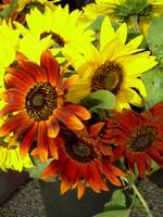 Red Sunflowers 794