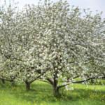 """""""orchard blossoms"""" by jackimroczkowski"""