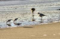 Shorebirds at Dinner