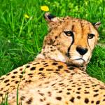 """Relaxed Cheetah"" by amira"