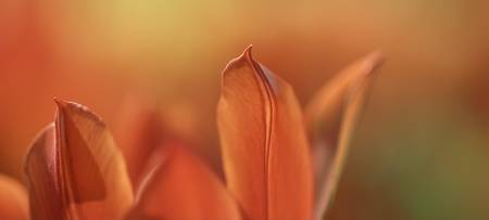 Orange TulipScape