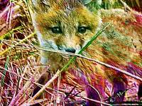 Baby Fox Wild Animal Art