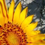 """Sunflower"" by allandavisjr"