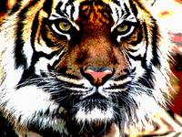 Wild Tiger Art Face