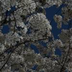 """Dogwood"" by GreyPhotography"