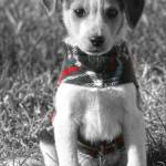 """""""Plaid Puppy"""" by GreyPhotography"""