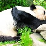 """Pondering Panda"" by amira"