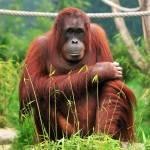 """""""Orangutan"""" by amira"""