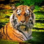 """Bathing Tiger"" by amira"