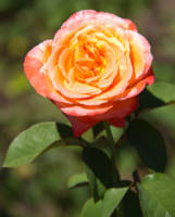 Orange Rose with Pink Edges