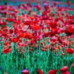 """""""poppy field"""" by digidreamgrafix"""
