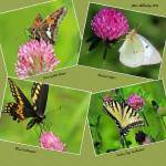 """Butterflies on Red Clover"" by shelshots"