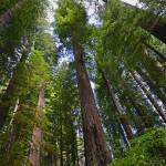 """Stout Grove Redwoods Vertical"" by JohnChaoPhoto"