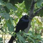 """Mr. Black Crow"" by ArtznCatz"