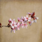 """Cherry Blossom"" by jow"
