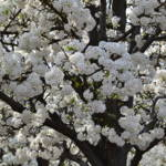 """White Flowering Tree"" by jow"