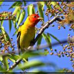 """Western Tanager"" by shravansphotography"