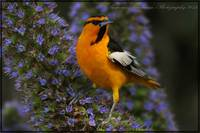 Bullock's Oriole and Pride of Madeira Flowers
