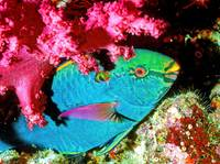 Parrotfish Under SoftCoral