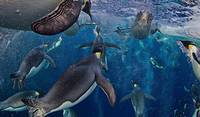 Emperor Penguins Under Water
