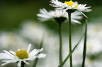 Three Daisies in Spring