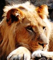 Male Lion closeup