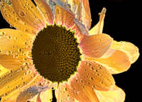 Sun Sweetened Daisy