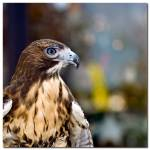 """Red Tailed Hawk Profile - 24984"" by ExpectantAlchemist"