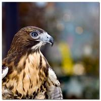 Red Tailed Hawk Profile - 24984