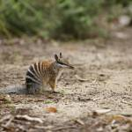 """Numbat"" by julianwphoto"