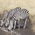 """Thirsty Zebras"" by julianwphoto"
